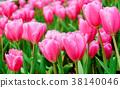 pink tulip in a beautiful field. 38140046