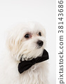 White Maltese dog  38143686