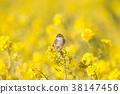 小鳥 挑染扇尾鶯 花朵 38147456