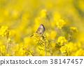 小鳥 挑染扇尾鶯 花朵 38147457