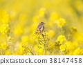 小鳥 挑染扇尾鶯 花朵 38147458