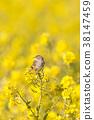 小鳥 挑染扇尾鶯 花朵 38147459