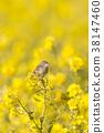 小鳥 挑染扇尾鶯 花朵 38147460