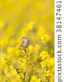 小鳥 挑染扇尾鶯 花朵 38147461