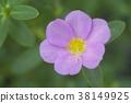 Close up of common purslane flower 38149925