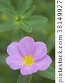 Close up of common purslane flower 38149927