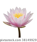 Pink waterlily isolated on white background 38149929
