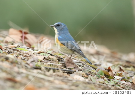 西伯利亞bluechat 野生鳥類 野鳥 38152485