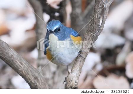 西伯利亞bluechat 冬候鳥 候鳥 38152623