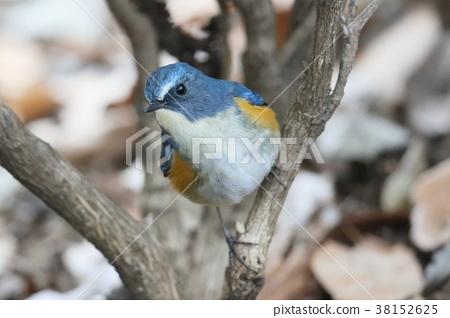 西伯利亞bluechat 冬候鳥 候鳥 38152625