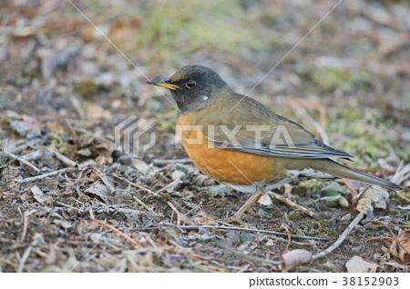 野生鳥類 野鳥 鳥兒 38152903