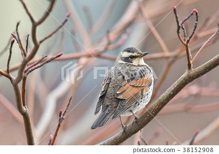 斑鶇 野生鳥類 野鳥 38152908
