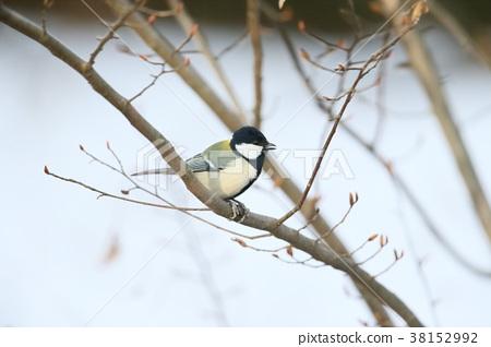 大山雀 山雀 野生鳥類 38152992