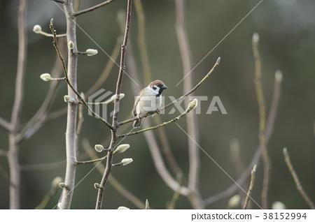 麻雀 野生鳥類 野鳥 38152994