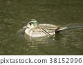雄性 水雞 鳥兒 38152996