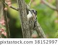 侏儒啄木鳥 啄木鳥 野生鳥類 38152997