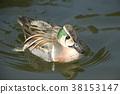 雄性 水雞 鳥兒 38153147