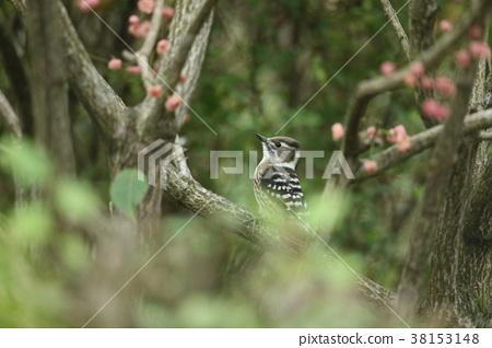 侏儒啄木鳥 啄木鳥 野生鳥類 38153148
