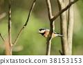 各種山雀 山雀屬 野生鳥類 38153153