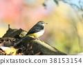 灰鶺鴒 野生鳥類 野鳥 38153154