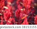雞冠花 植物 植物學 38153155