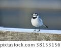 鶺鴒科 小鳥 鴒 38153156