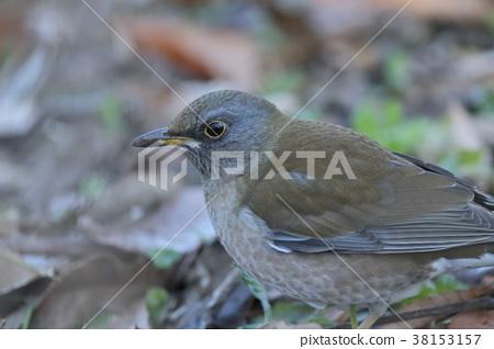 白腹鶇 野生鳥類 野鳥 38153157