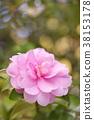 茶梅 山茶科 花朵 38153178