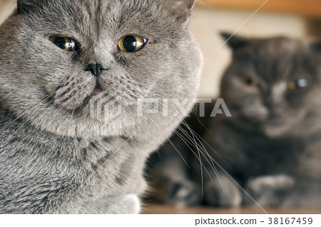 Male and female british shorthair cats sitting 38167459