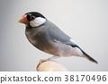 禾雀 爪哇雀 小鸟 38170496