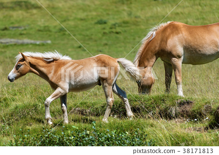 Brown and White Horse with Foal 38171813