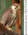 Falcon 38173344
