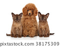 Toy poodle with kittens 38175309