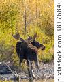 Bull and Cow Moose in Rut 38176840