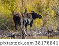 Bull and Cow Moose in Rut 38176841