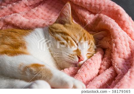 담요로 푹 잠 갈색 흰색 호랑이 고양이 38179365