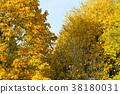 Autumn trees 38180031
