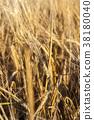 ears of barley 38180040