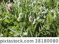 buds of red poppy 38180080