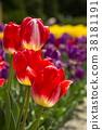 鬱金香 花床 花園 38181191