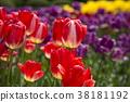 鬱金香 花床 花園 38181192
