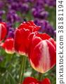 鬱金香 花床 花園 38181194
