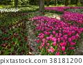鬱金香 花床 花園 38181200