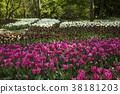 鬱金香 花床 花園 38181203
