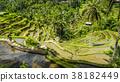 paddy, field, rice 38182449