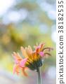 gerbera daisy close up macro texture. 38182535