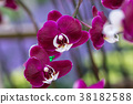 Purple orchid on the inflorescence in the garden. 38182588