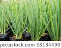 Onion, shallot 38184490