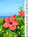 하이비스커스, 히비스커스, 꽃 38184622