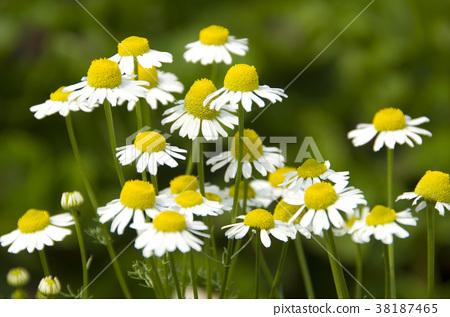 菊花,非洲菊,紫色花,白色花,辛香,草药,药用植物,香草,香草植物 38187465